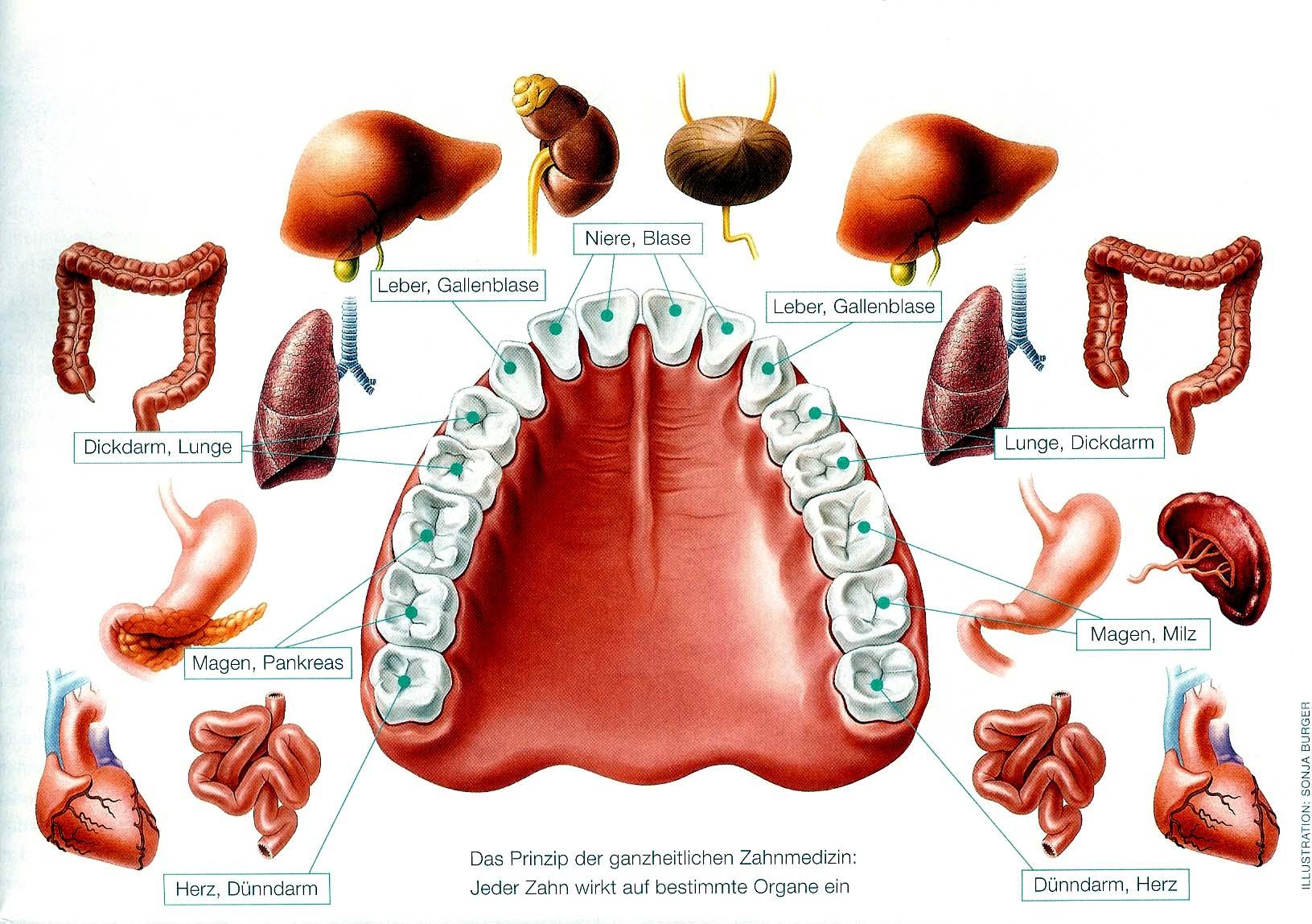 Zahn-Organ-Schema
